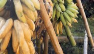 أهمية التيروسين في الموز