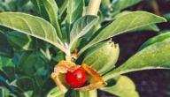ما هي عشبة الاشواجنداو وفوائدها الصحية؟