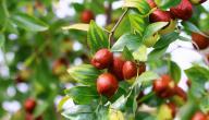 ما هي فوائد شجرة السدر