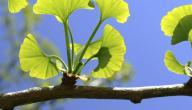 فوائد نبات الجنكو