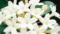 أنواع زهور الياسمين