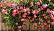 نظرة عن قرب: الورد الجوري