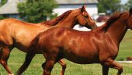 أنواع الخيول العربية