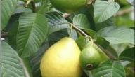 فوائد ورق الجوافة للشعر