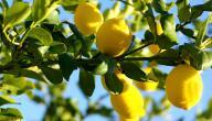 طريقة زراعة الليمون