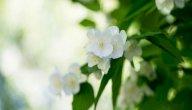 كيفية زراعة وردة الياسمين