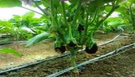 طريقة زراعة الباذنجان