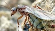معلومات عن ملكة النمل