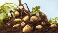 طريقة زراعة البطاطا