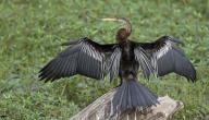 معلومات عن طائر الكيوي