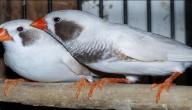 معلومات عن طيور الزيبرا