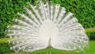 معلومات عن الطاووس الأبيض