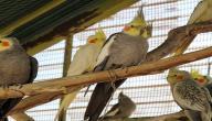 معلومات عن طيور الكوكتيل