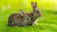 كيفية تزاوج الأرانب