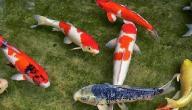 معلومات عن سمك الكوي
