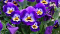 معلومات عن زهرة البنفسج