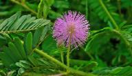 معلومات عن نبتة ميموزا
