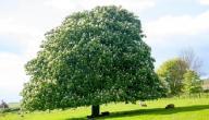 معلومات عامة عن شجرة كستناء الحصان