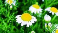 معلومات عامة عن نبات عاقر قرحا