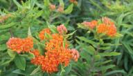 علاج التهاب الرئة بالأعشاب