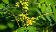 فوائد عشبة السنامكي للتنحيف