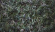 فوائد عشبة السنتريس