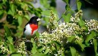 الفرق بين الذكر والأنثى في طيور الروز