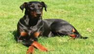 معلومات عن كلاب الدوبرمان
