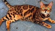 معلومات عن القط البنغالي