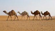 مظاهر تكيف الجمل في الصحراء