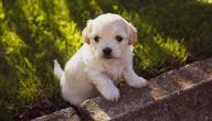 أنواع الكلاب الصغيرة