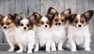 أبرز أنواع كلاب الزينة