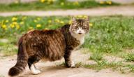 أعراض الحمل عند القطط
