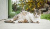 فترة حمل القطط