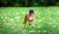 معلومات عن كلاب البوكسر