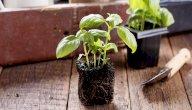 كيفية زراعة الريحان والاعتناء به