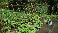 كيفية زراعة الفاصولياء