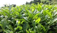 فوائد نبات السندروس