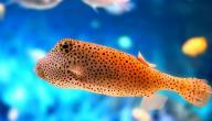 معلومات عن الأسماك اللافكية