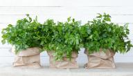 هل من أعشاب مدرة للبول دون آثار جانبية؟