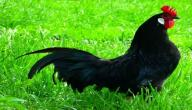 معلومات عن الدجاج الأسود