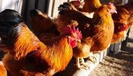 طريقة تربية الدجاج البلدي