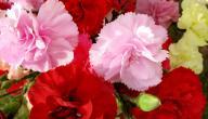 معلومات عن زهرة القرنفل
