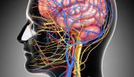أهم الأغذية المفيدة للمخ والأعصاب