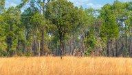 معلومات عن غابات السافانا