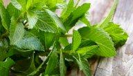 علاج التهاب المرارة بالأعشاب: حقيقة أم خرافة قد تضرك؟
