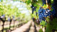 استخدامات زيت بذور العنب