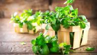 طريقة حفظ النعناع الأخضر