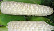 فوائد الذرة البيضاء