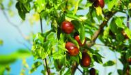 أنواع الأشجار المثمرة